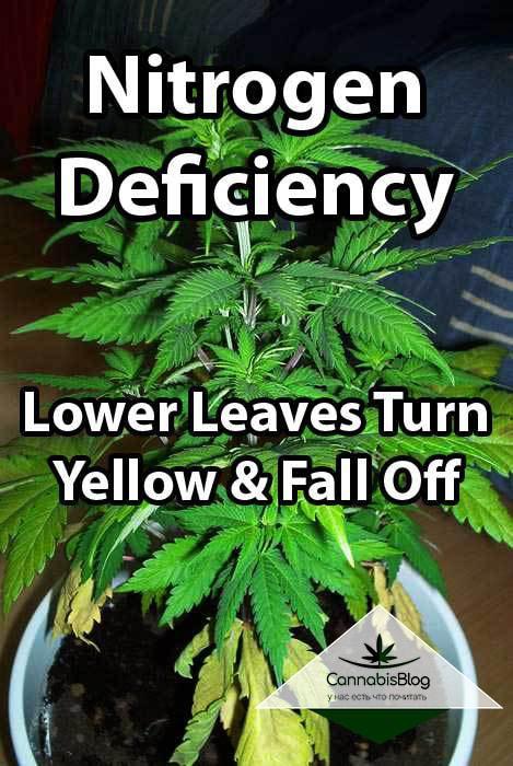 Жёлтые и засохшие листья из -за недостатка азота у конопли