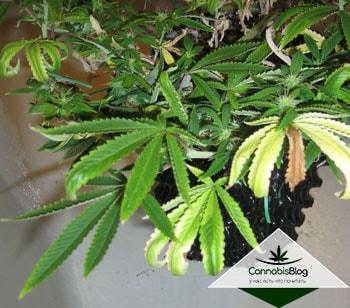 Переизбыток азота в марихуане конопля после заморозки