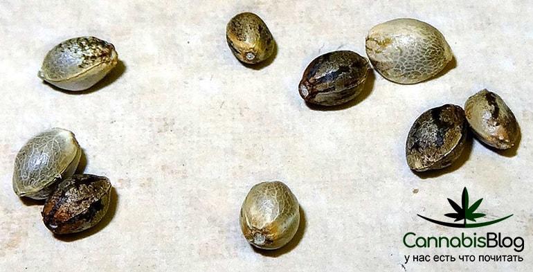 Семена ошибочно принятые за семена каннабиса