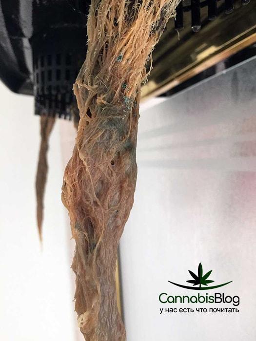 Гнилой корень каннабиса