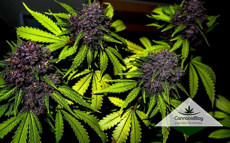 Полностью пурпурные соцветия