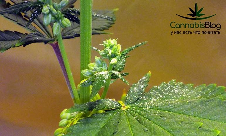 Пыльца на листке конопли