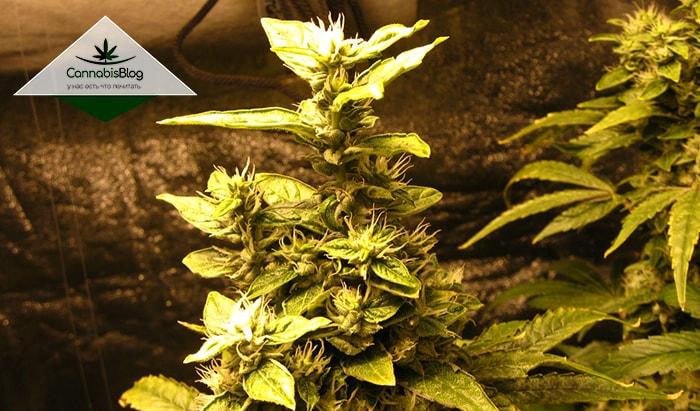Сахарные листья на кусте марихуаны