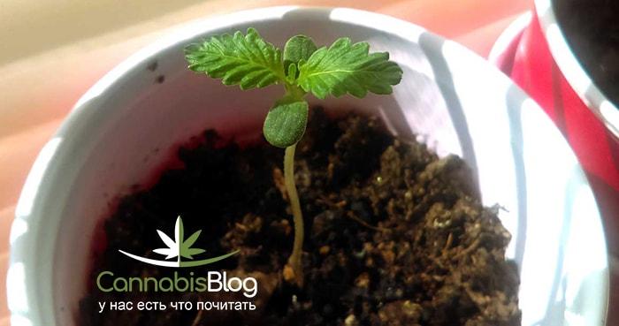 Пересадка ростков марихуаны когда срезать бошки с конопли
