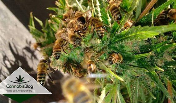 Как опылить растение конопли