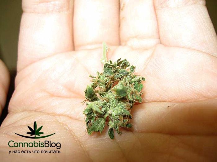 Когда появляются шишки на конопле марихуана вислоухая свинья