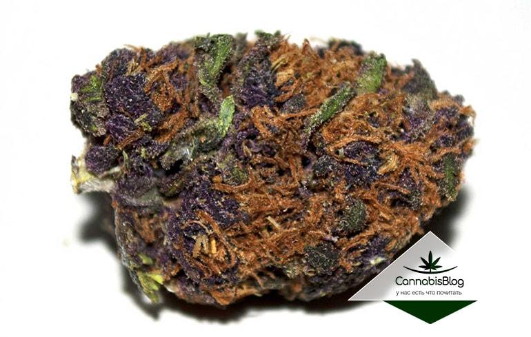 Кола фиолетового окраса