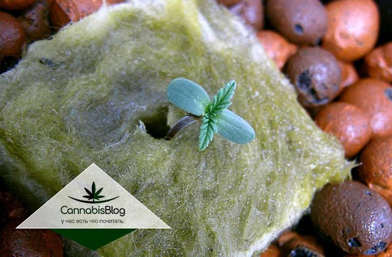 Молодые листочки на ростке конопли