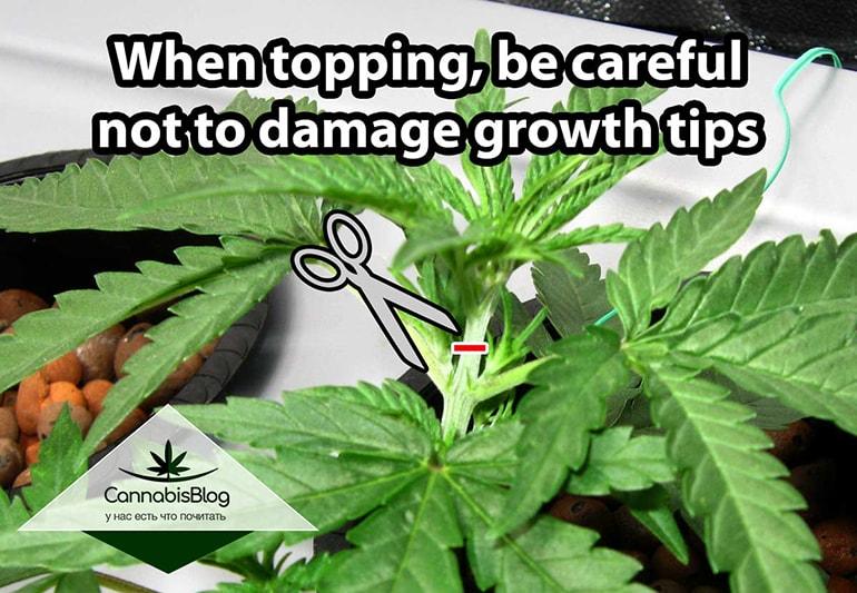 Будьте аккуратны при срезе стебля конопли