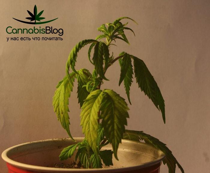 У конопли листья опускаются купить смена марихуаны