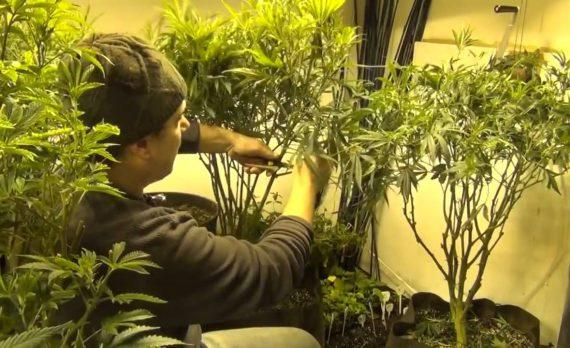 выращивание конопли прореживание