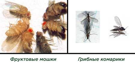 Грибные комарики на конопле