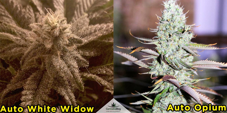 Лучшие сорта конопли для новичков - auto white widow и auto opium