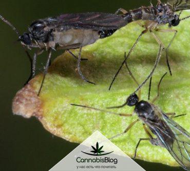 Грибные комарики сциариды