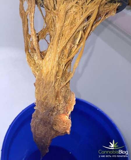гниющие корни конопли