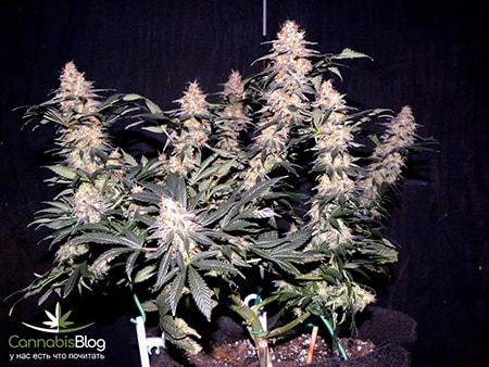 Сколько растить марихуану кузьмич дикой конопли