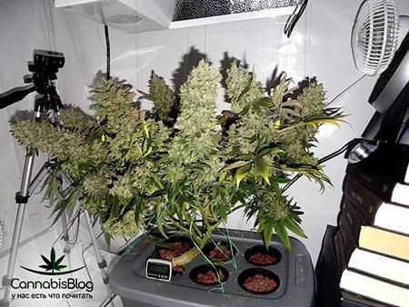 Сколько по времени растет марихуана www семена конопли ru