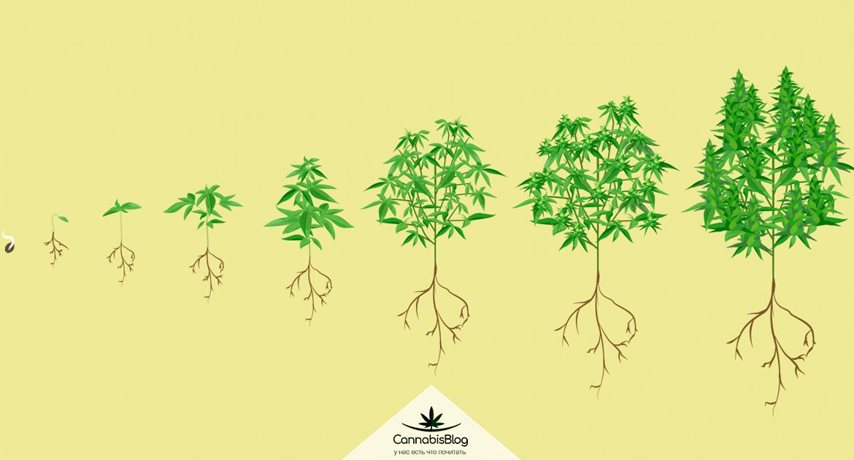 Сколько по времени растет марихуана марихуана биржа