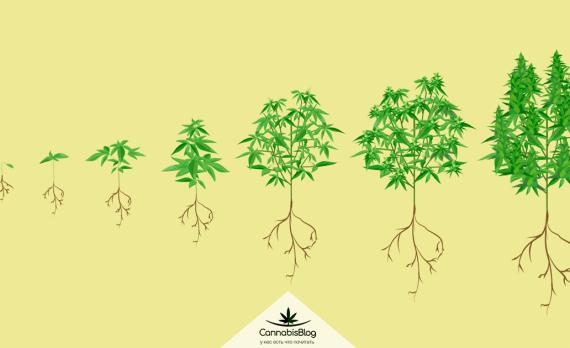 Сколько растет конопля