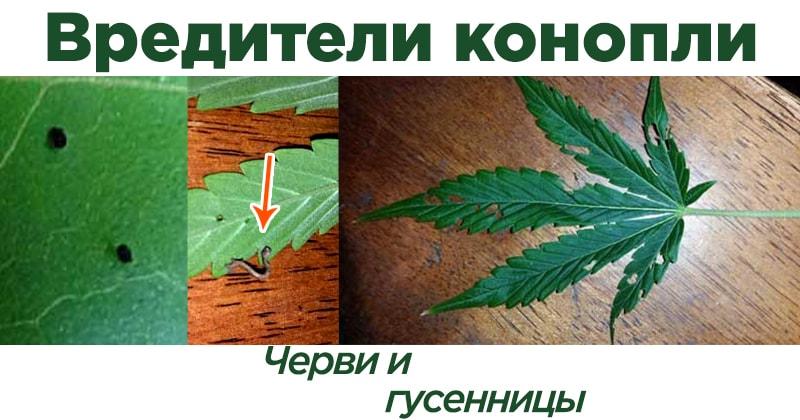 Гусеницы на конопле