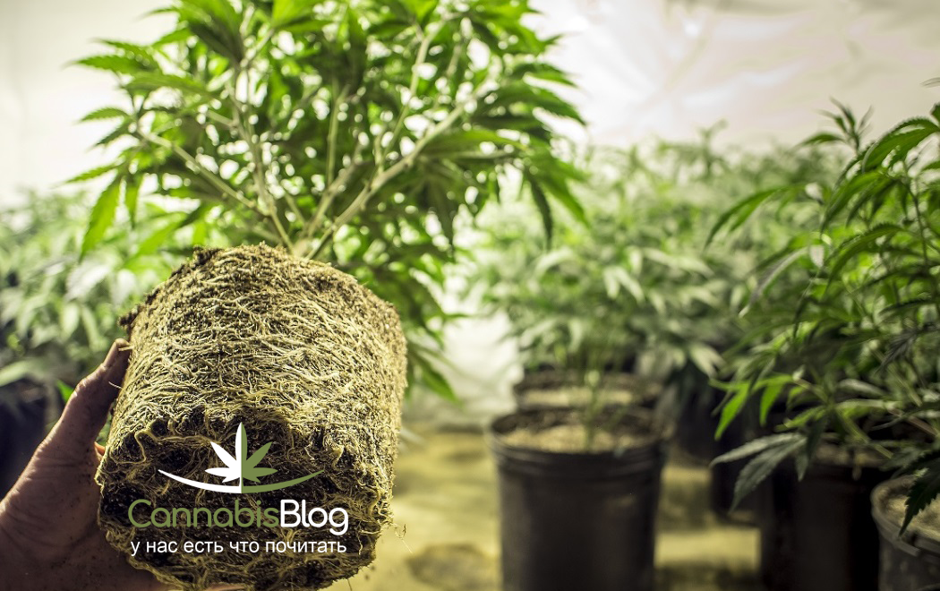 Проблемы с корнями марихуаны