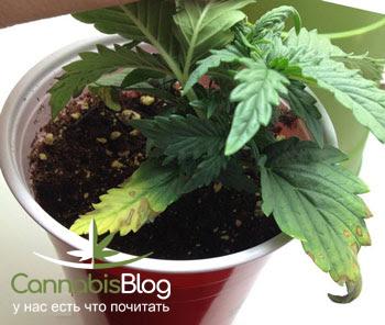 Когти  на листьях марихуаны