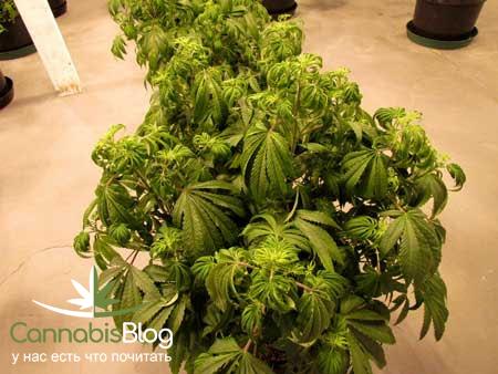 Полив марихуаны. Залитое растение