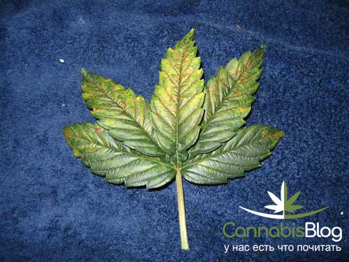Скрутившийся и пожелтевший лист конопли