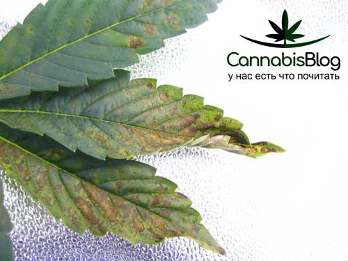 Нехватка фосфора у марихуаны