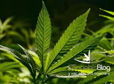 Дефицит железа в марихуане