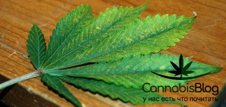 Ломкие листья у марихуаны