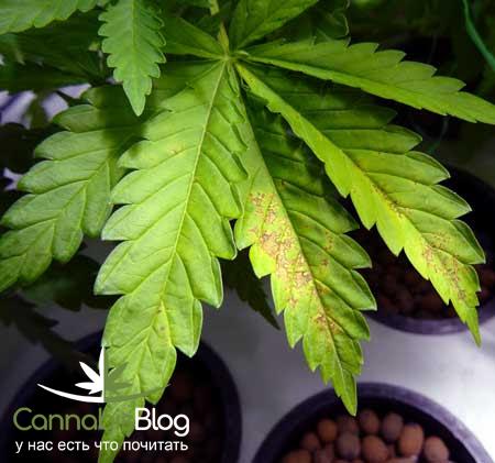 Желтые пятна на листьях марихуаны