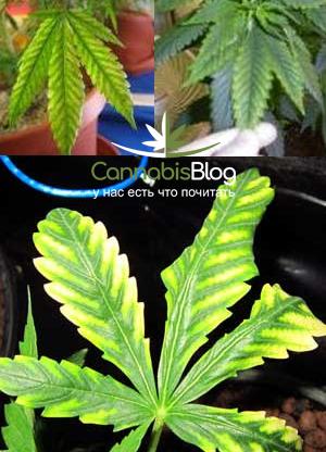 Коричневые пятна на желтых листьях марихуаны