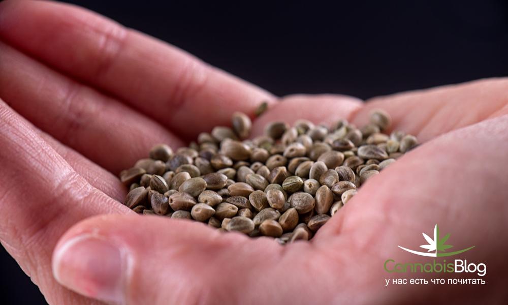 Плохие семена конопли