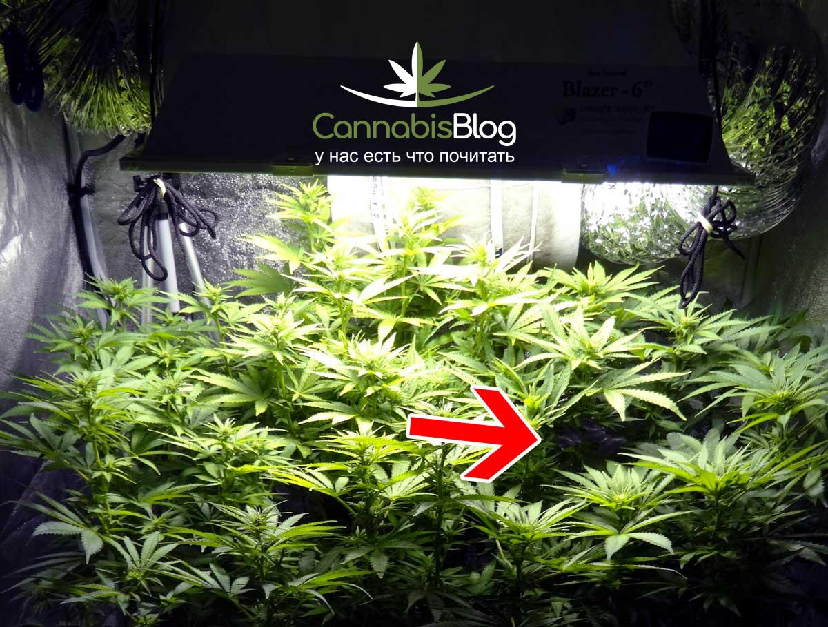 Колы марихуаны одинаковой высоты