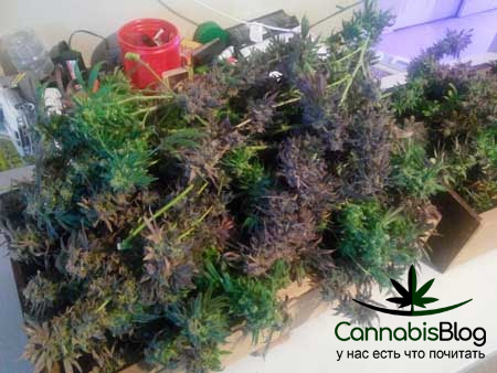 Полив марихуаны