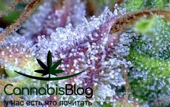 Дохревшие трихомы марихуаны