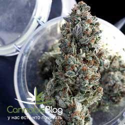 Пролеченные шишки марихуаны