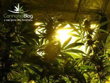 Освещение для марихуаны