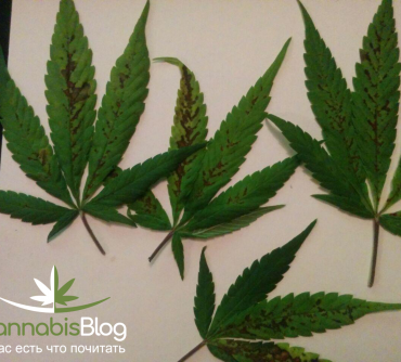 Дефицит марганца у марихуаны