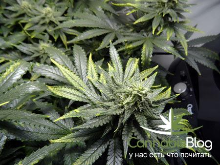 Потемневшие листья марихуаны