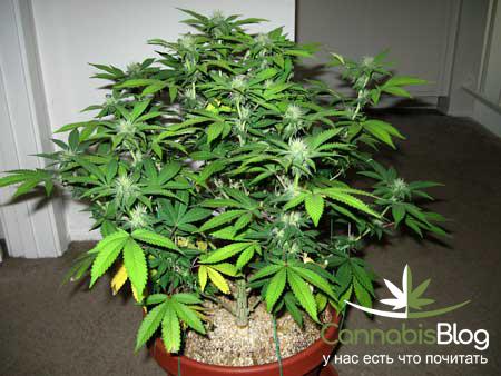 Как отличить женское растение марихуаны