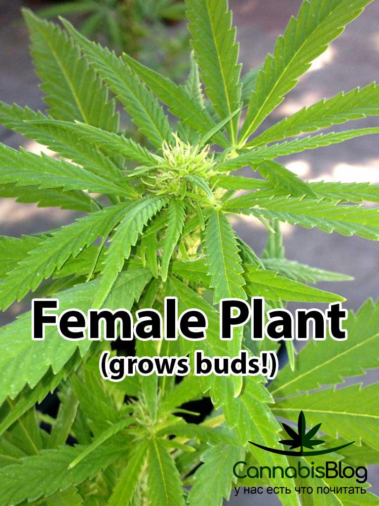 Женское растение конопли