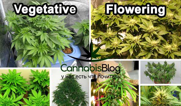 Вегетативный период и цветение марихуаны