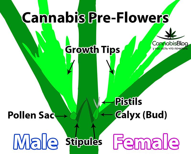 Предцветы марихуаны