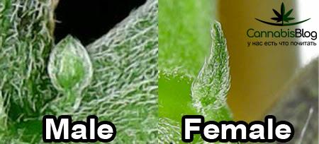 Половые признаки марихуаны