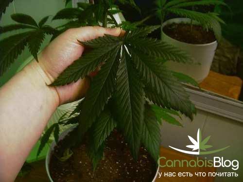 Передозировка азотом у марихуаны
