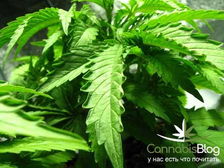 Листья на конопле скручиваются открытый грунт марихуана