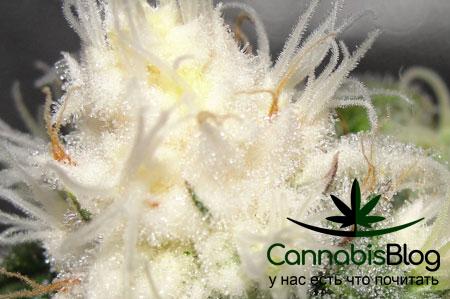 Выгоревшие соцветия марихуаны