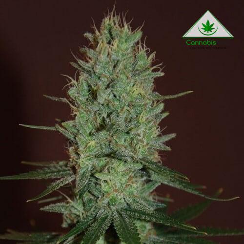 Сорт марихуаны для аутдора Auto Amnesia haze